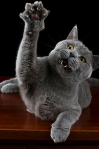 british-shorthair-cat-clawing
